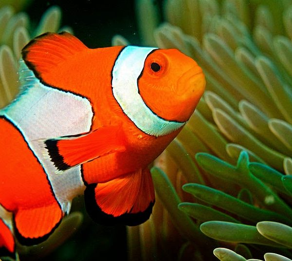 5 Fun Facts About The Adorable Clownfish